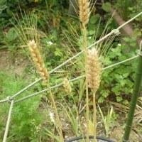 小麦の生長