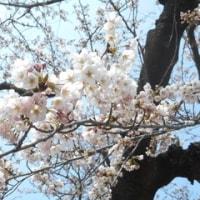 お花見でした(^_^)/~