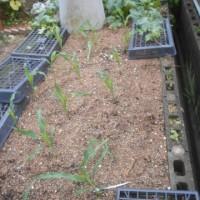 庭のトウモロコシも風で倒れていました