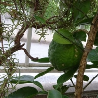 2016/10/22 庭さきの柚が実を付けました。