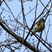 3/28探鳥記録写真-2(瀬板の森の小鳥たち:ヤマガラ、ジョウビタキ、ルリビタキ、オシドリ他)