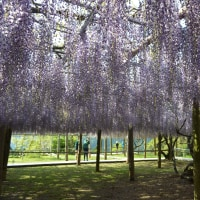 桜の後は 藤を見よう、まだまだ間に合うかも