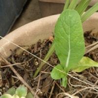 1日1枚の庭野菜の収穫