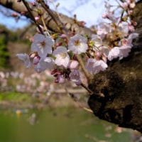 FUJI X-T20(ミラーレス一眼)ではじめて撮った桜