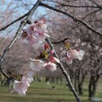 埼玉県坂戸市 北浅羽の安行寒桜 2017年3月25日