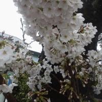 桜…満開!!