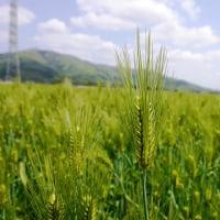 カシマ麦が出穂時期です。