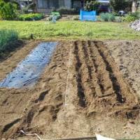 玉葱の植え付け準備完了