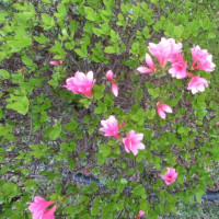 ツツジが咲いた