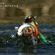 【カワセミ写真】  美の躍動 … 翡翠(かわせみ)の舞