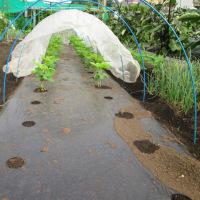 枝豆定植しました