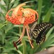 アゲハ蝶&オニユリ