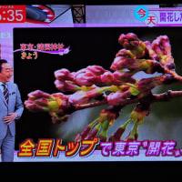 3/22  今村さんの 昨日雨の中を東京では開花宣言した