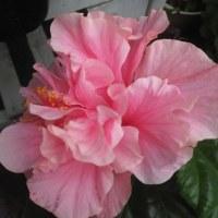 八重咲ピンクのハイビスカス、ハンカチの花、イソトマ、ハートカズラなど自宅と土曜日鶴見で販売!