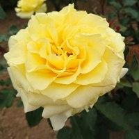 薔薇の季節のティータイム