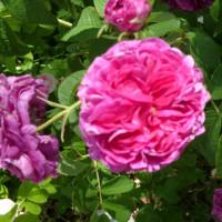 バラ庭園巡り