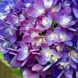 ピラミッド紫陽花