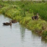 カエルが鳴きザリガニ・タニシが、鴨が遊びに来る田んぼは生き生きとして…