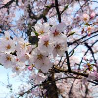 2017日野川堤防の桜