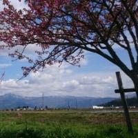 矢ばなの里の桜堤