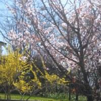 やっと サクラが咲いた 北の地