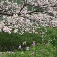 京都 山科疏水の桜と菜の花