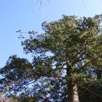 サワラの木