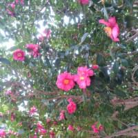 ピンクの山茶花の花言葉は・・・