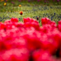 2017 開いた開いたチューリップの花がのはずなんだが  《福岡市東区海の中道海浜公園》