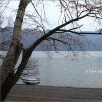 桜観る日々・その8 ~見頃・咲き始め、湖畔のヤマザクラに一喜一憂@中禅寺湖