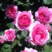 京成バラ園のばらが花盛り
