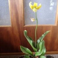 黄色い カタクリの花。
