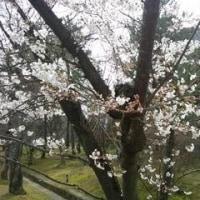 桜 爛漫 満足 ある記