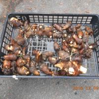 サトイモを2株収穫