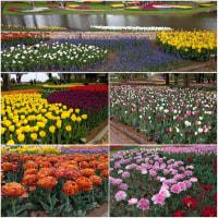 チューリップガーデン♪♪お友達と国営昭和記念公園ヽ(^o^)丿