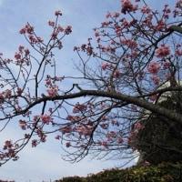 今年の桜 1