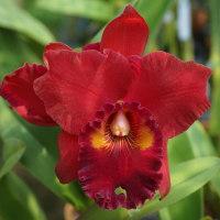 ●Rlc. Brahma Emperor'Spring Red'
