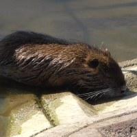 ため池のヌートリア