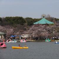 お花見絶好調!上野公園