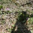福寿草が咲いていました