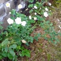 秋明菊とホトトギス