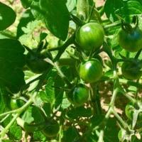 トマト 実の数がすごく増えています