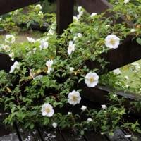 雨に映える白