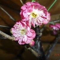 梅の木の勘違い