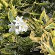 ツルハナナス 蔓花茄子 斑入り葉