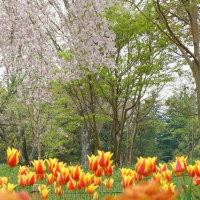 昭和記念公園:チューリップ・おわり