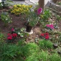 3/12 エリア4の花壇:シクラメンとクリスマスローズ他