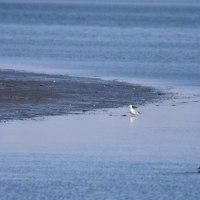 渚のミヤコドリ
