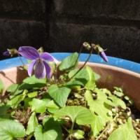 スミレの育て方3月 スミレの花を楽しむ  日本スミレの開花3番目 ラン鉢のコスミレ