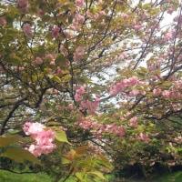 緑色の桜を見てきました